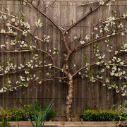espalier-citrus-trees
