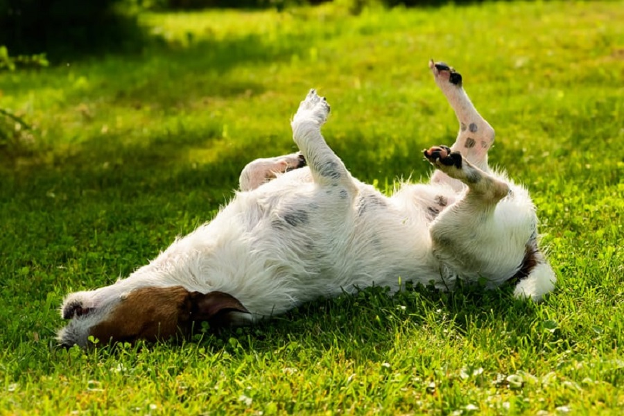 dog rubbing from grass